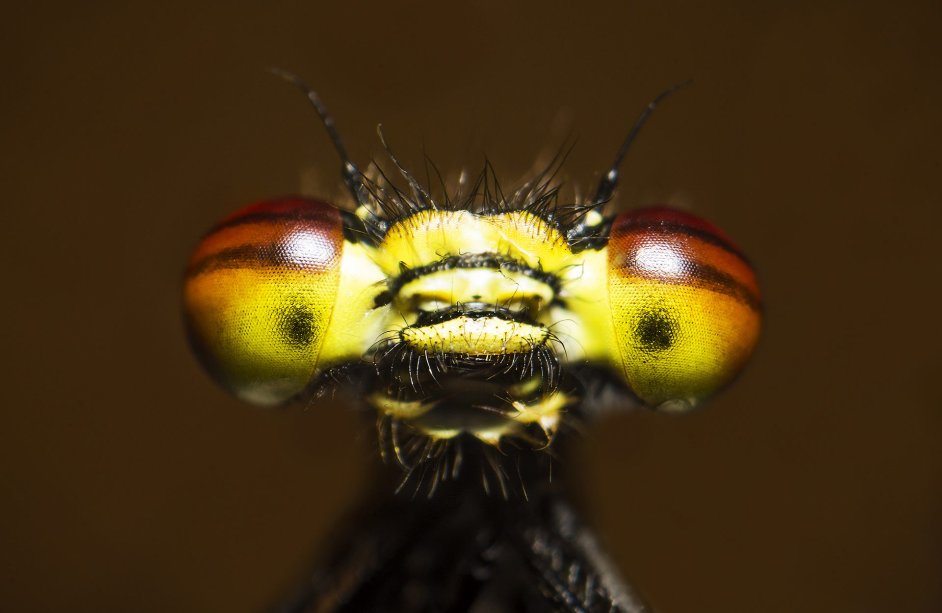 Damselfly Stack