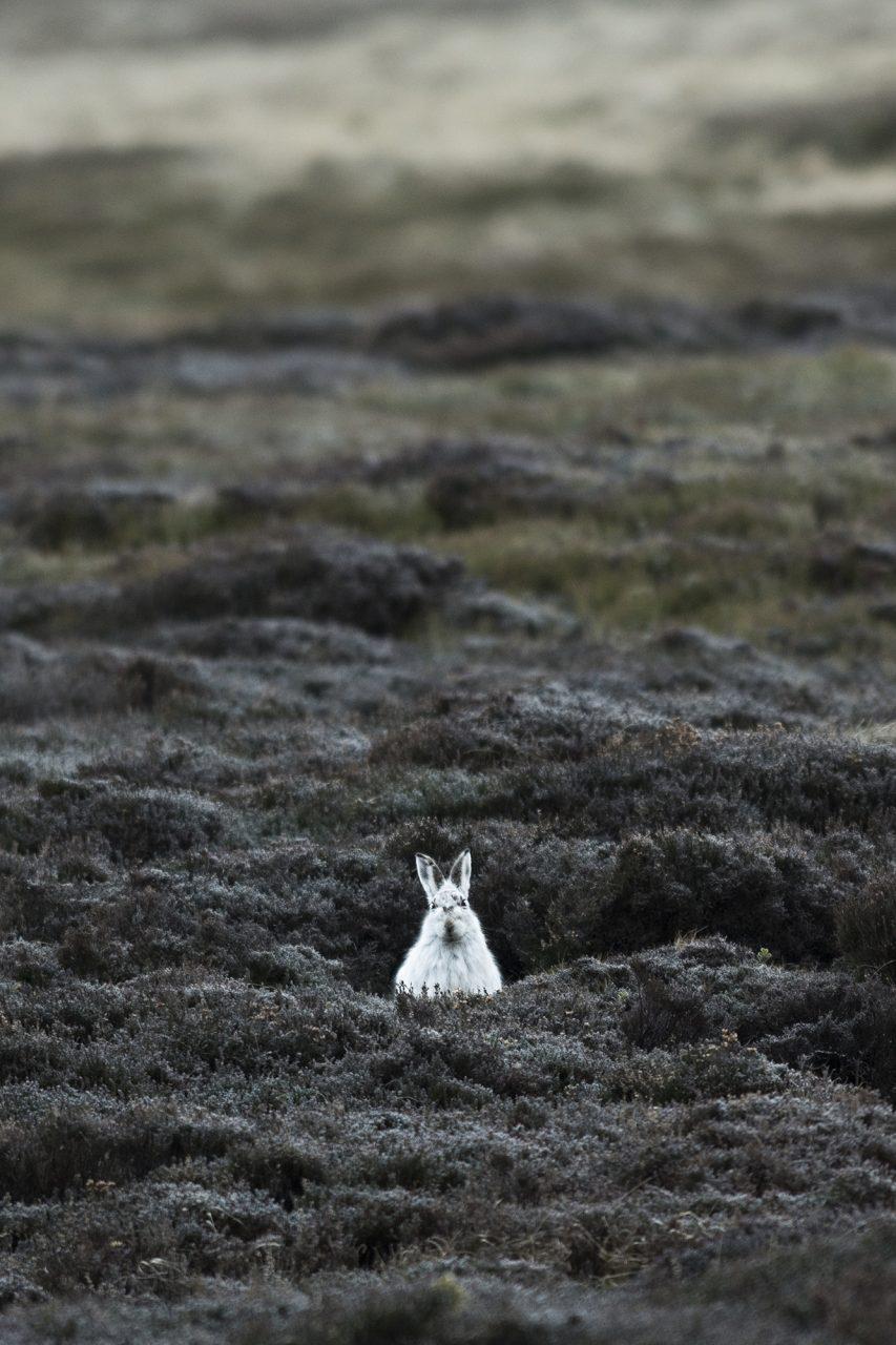 Mountain Hare in Environment