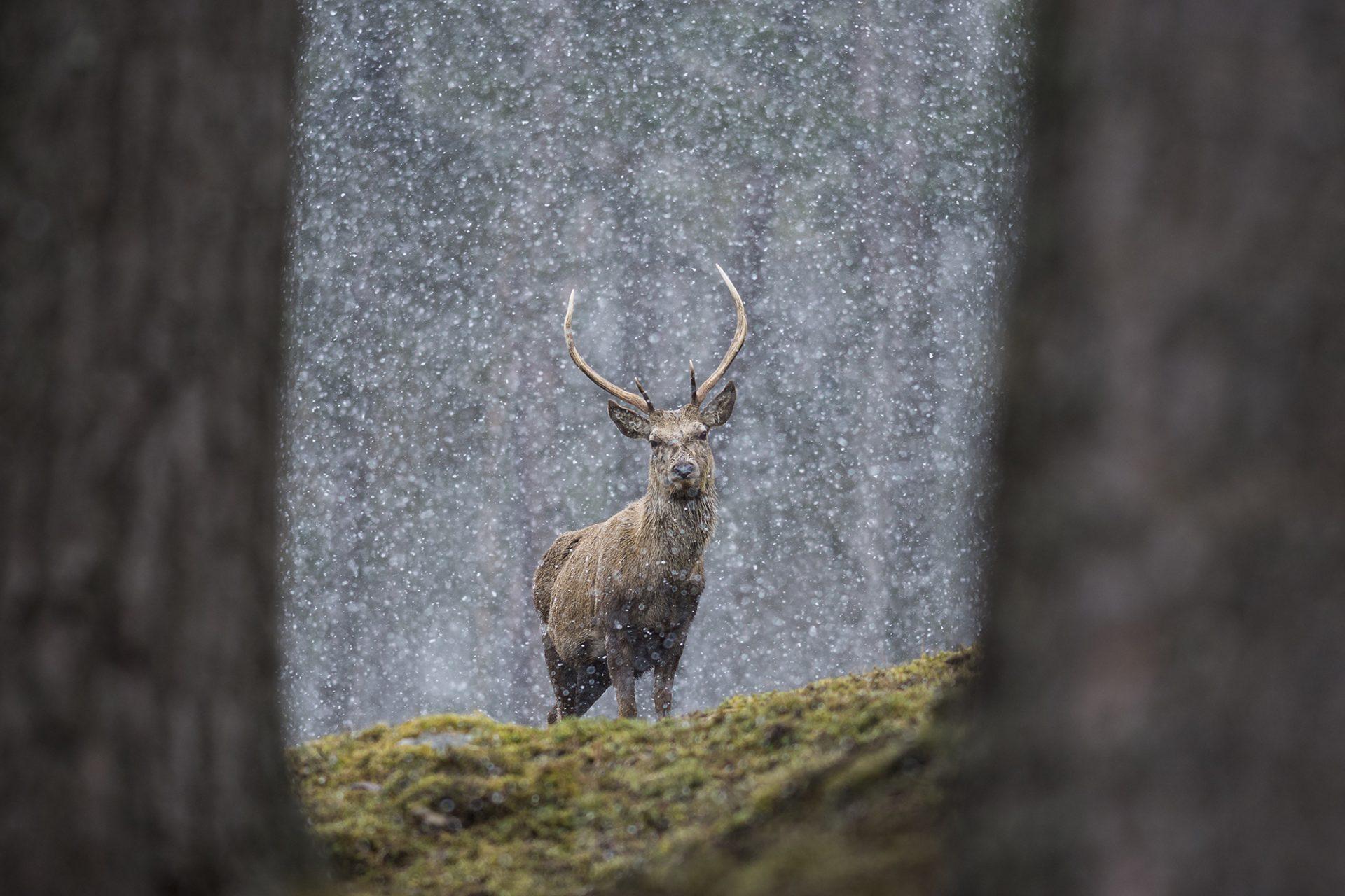 Red Deer Posing