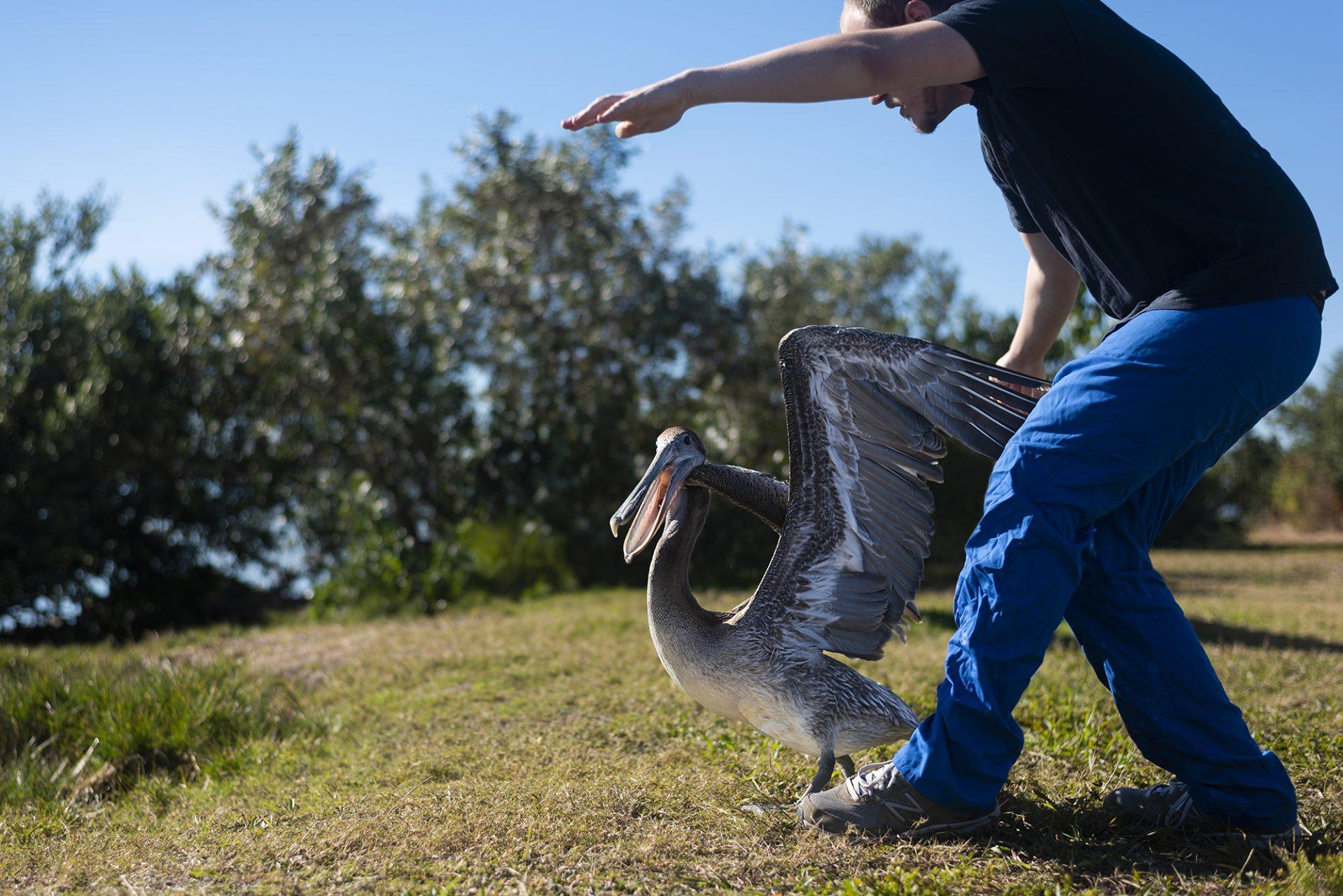 Pelican Release