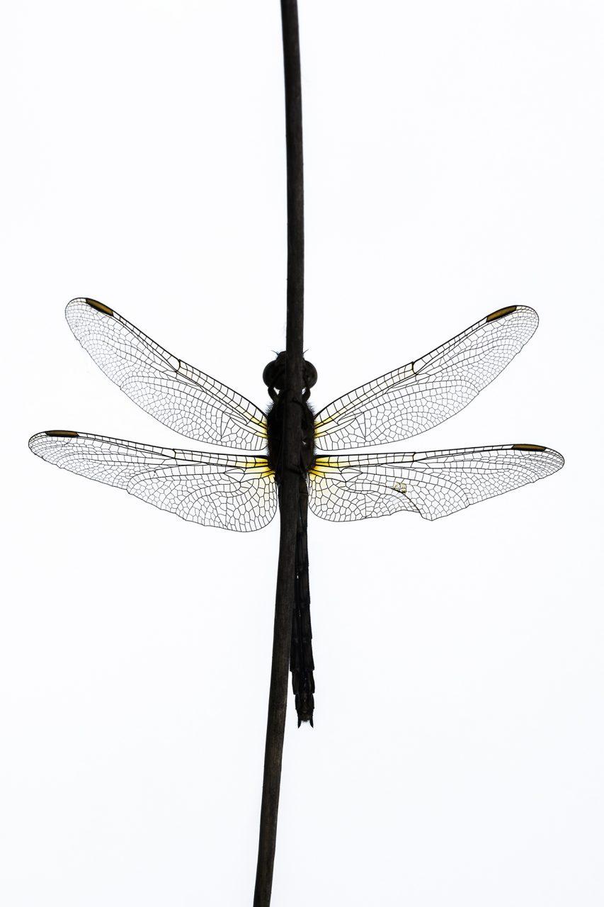 Female Keeled Skimmer