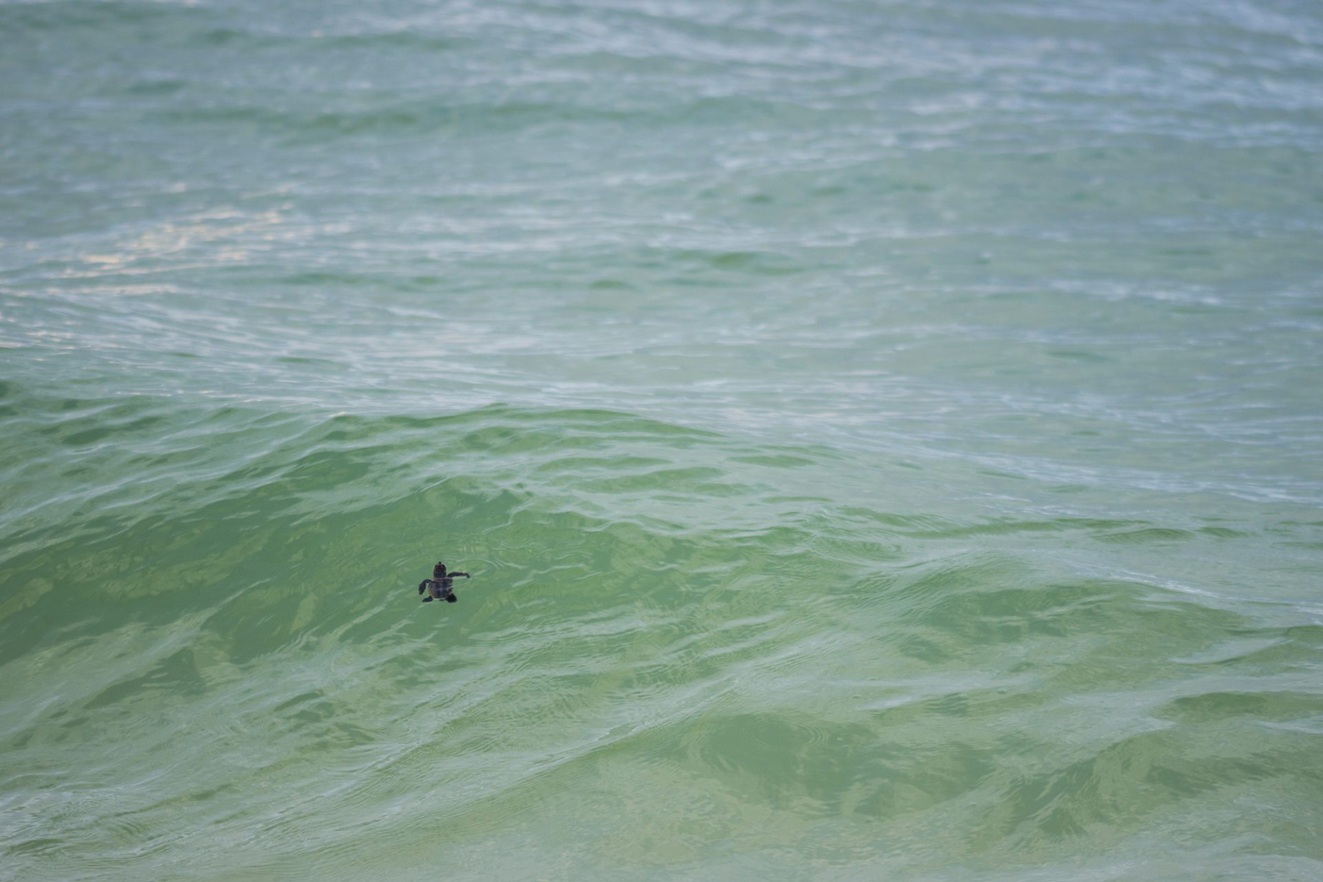 Hatchling in the Sea
