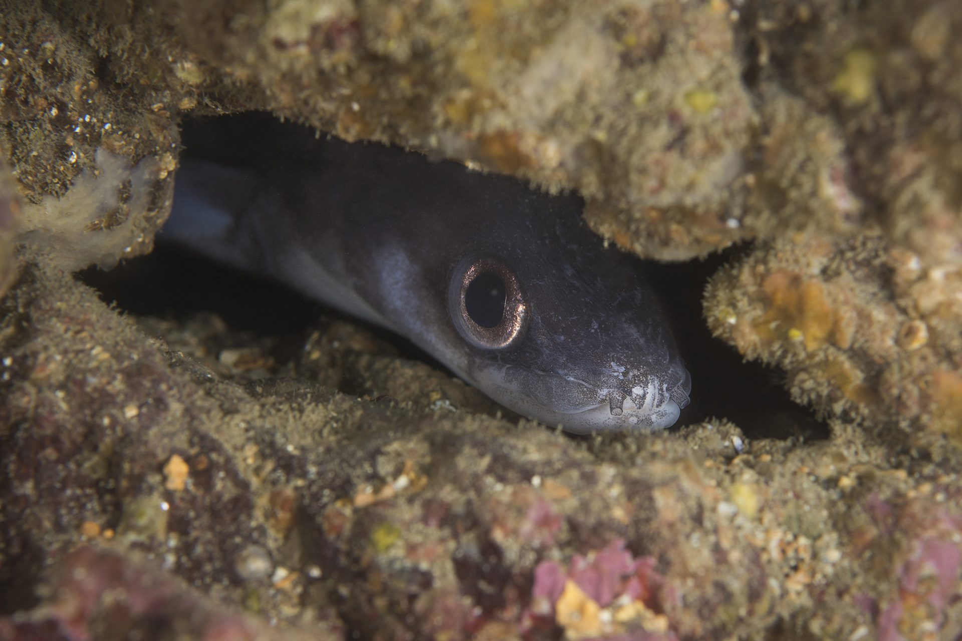 Juvenile Conger Eel