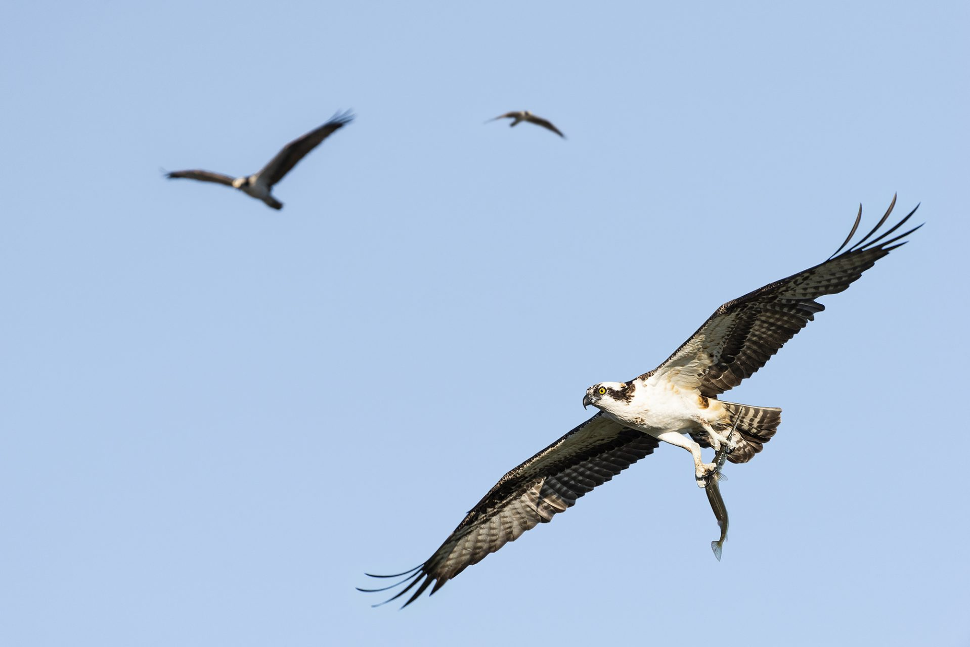 Ospreys Hunting