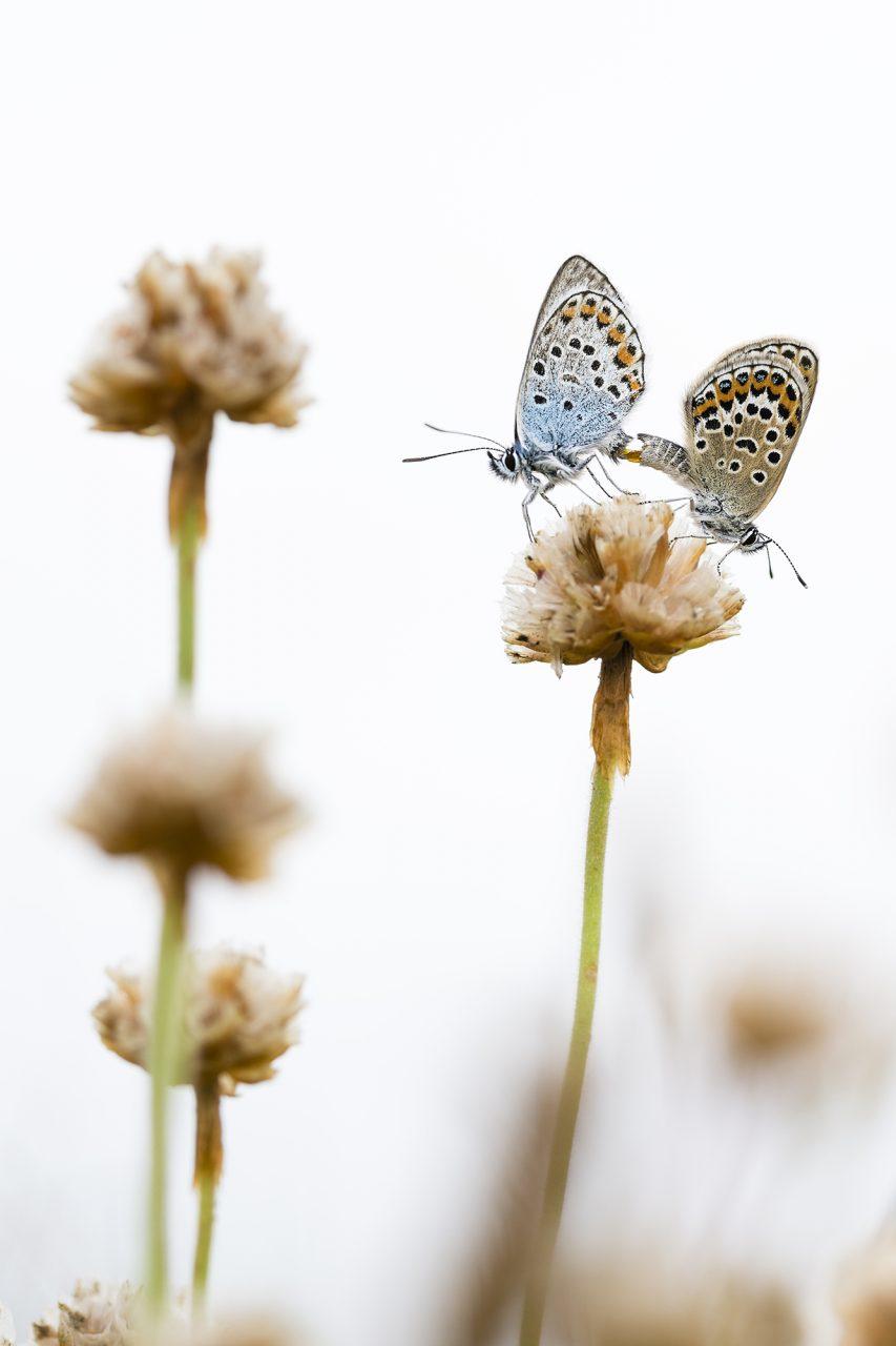 Mating Silver Studded Blue Butterflies