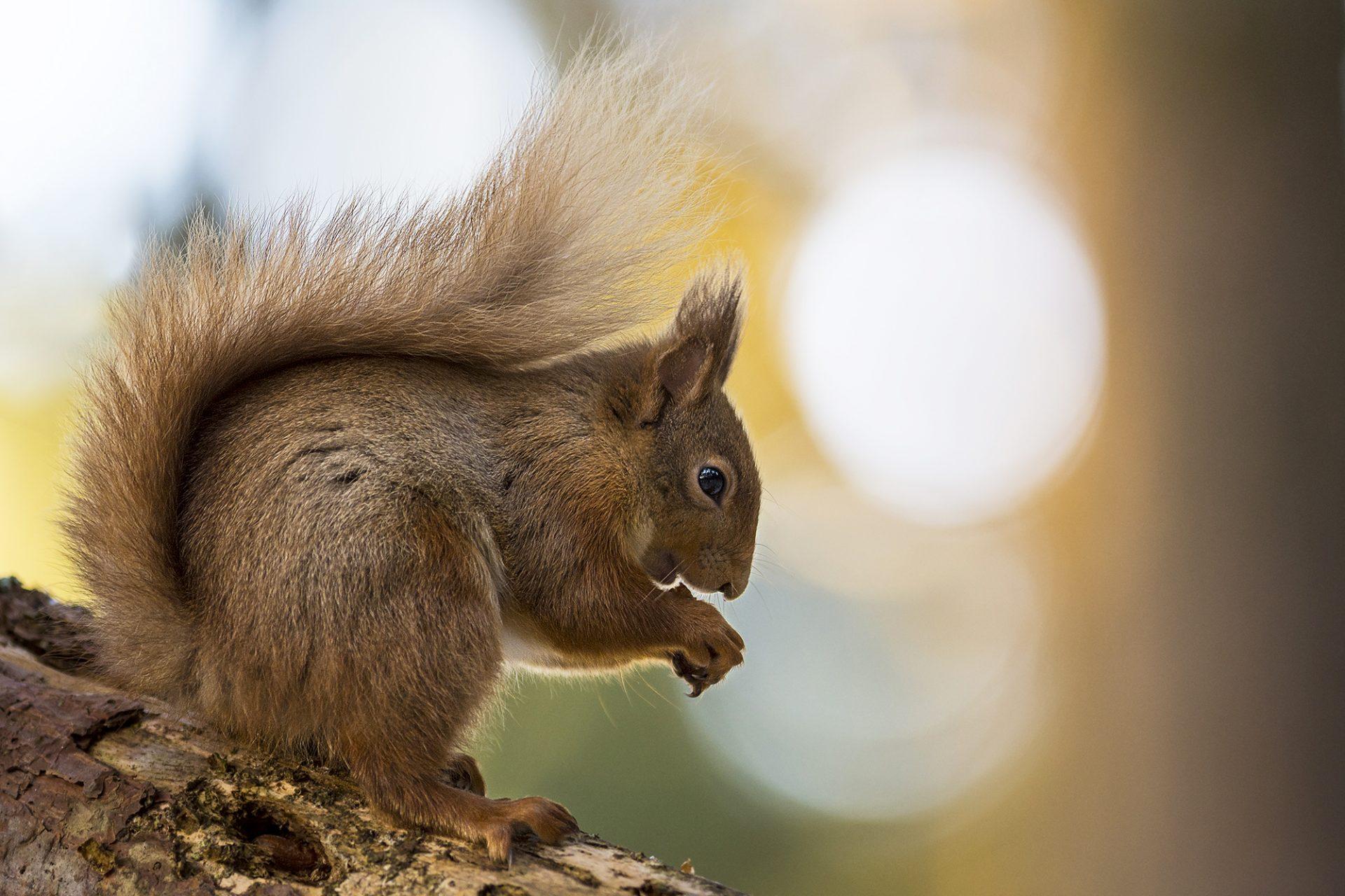 Red Squirrel Sunrise