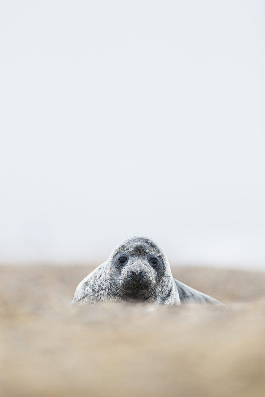 Seal Portrait Sandier