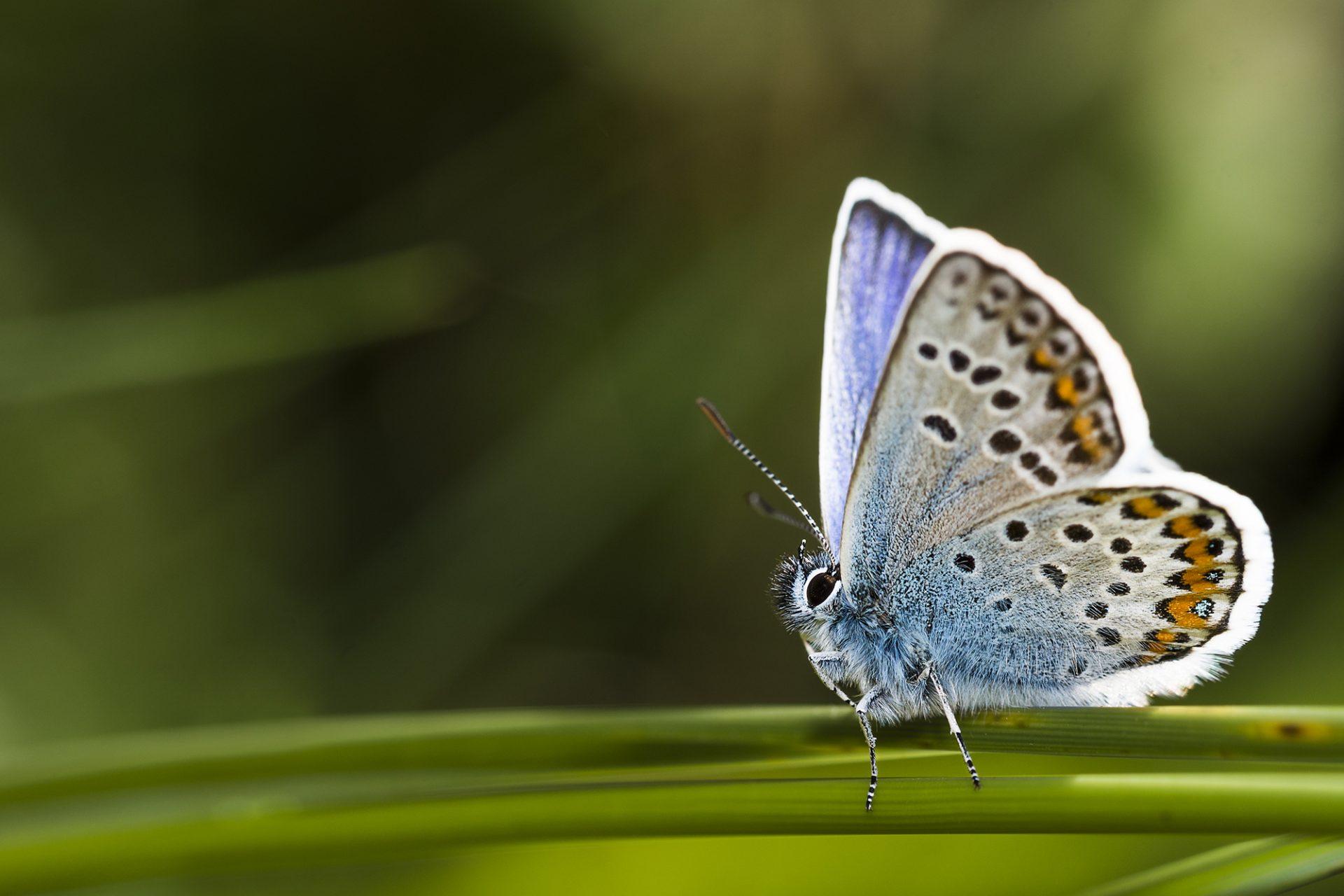 Silver Studded Blue Butterfly 1