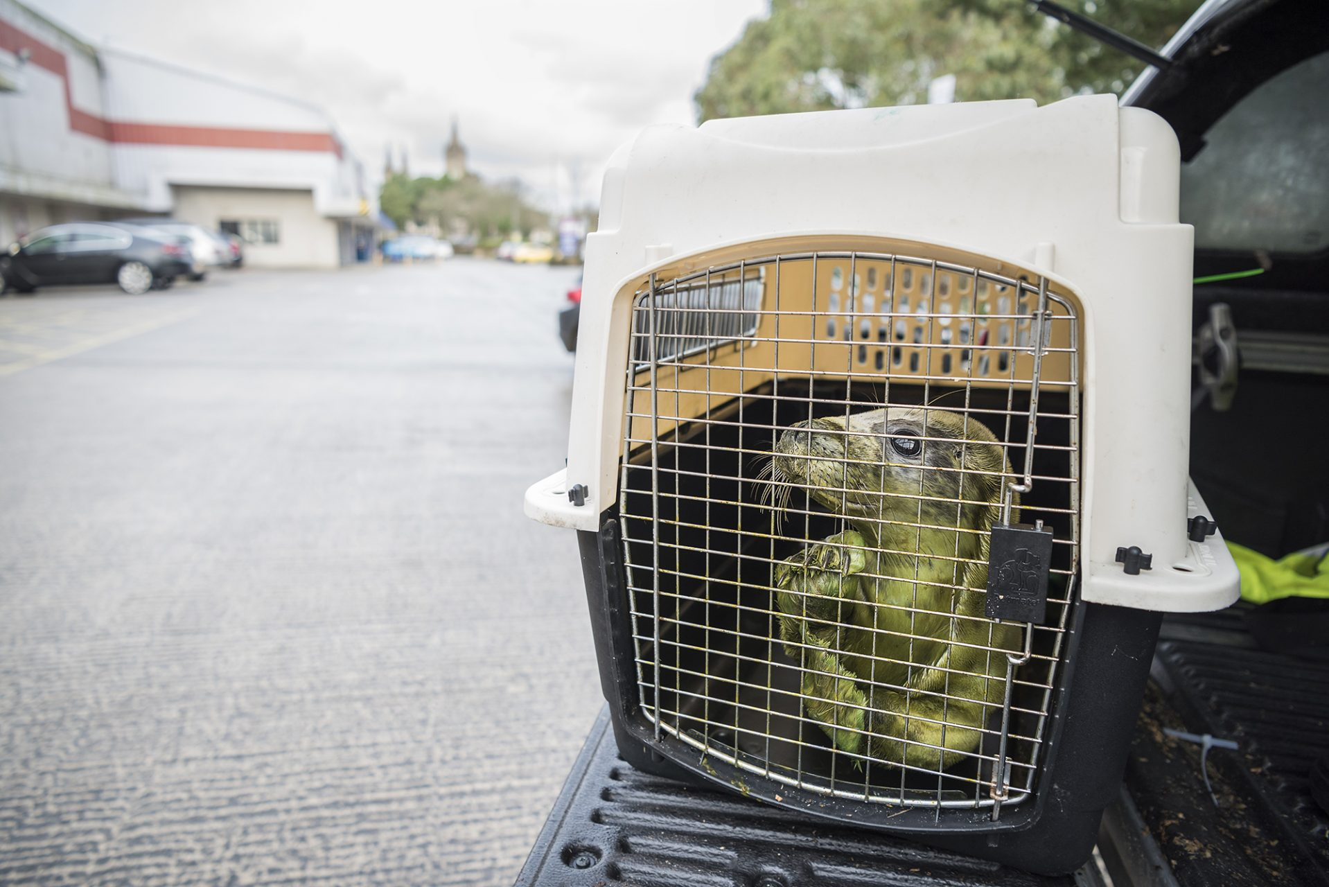 Transporting Rescued Seal