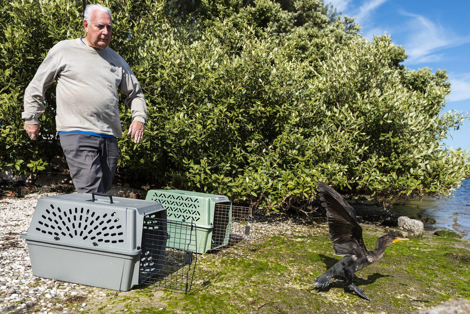 Cormorant being Released