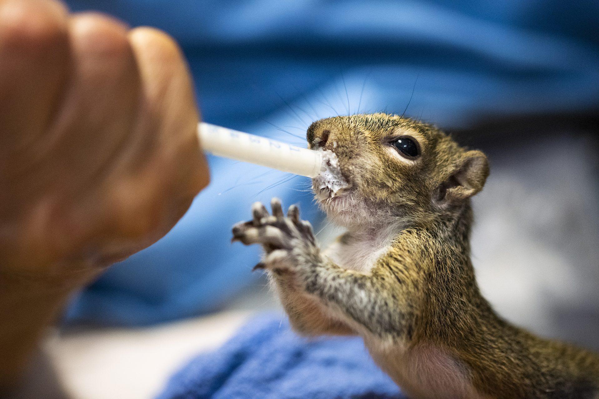 Squirrel Being Fed by Volunteer